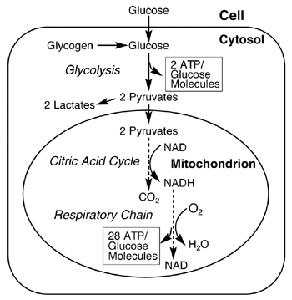 Diagram of ATP production process.