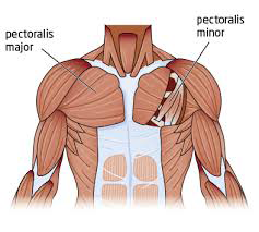 Diagram of pectoral muscles in the chest.